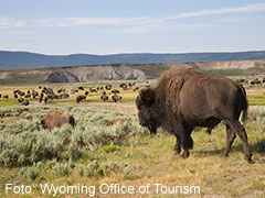 Bison Foto Wyoming Office of Tourism 240